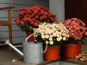 Autumn Mums Deborah Lee Luskin