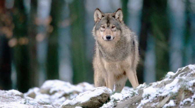 Wild Wolf publishing, dark thriller, sci-fi, horror, wicked, authors, books, submissions,