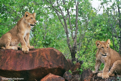 The young lions at the Lion Encounter in Victoria Falls, Zimbabwe. Copyright Cornelia Kaufmann