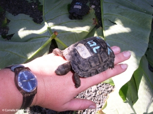 Holding a baby tortuga gigante at the breeding centre. Copyright Cornelia Kaufmann