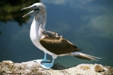 Blue footed booby presenting his feet. Copyright Cornelia Kaufmann