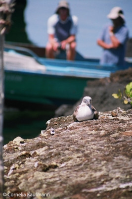 Tourists watching a blue footed booby. Copyright Cornelia Kaufmann