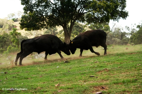 Two steers fight. Copyright Cornelia Kaufmann
