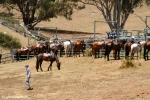 Cattle muster on Leconfield Farm, Jackaroo, Jillaroo, School, Tamworth, Kootingal, WWOOF, cowboy, Cornelia Kaufmann