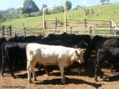 At the cattle yard. Copyright Cornelia Kaufmann