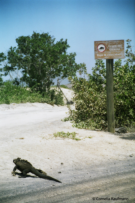 The Cruce de iguanas - Iguana Crossing at the western edge of Puerto Villamil. Copyright Cornelia Kaufmann