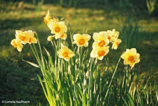 Daffodils on graves. Copyright Cornelia Kaufmann