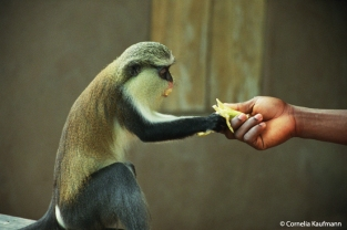 Mona Monkey grabbing a banana from a visitor's hand at Tafi-Atome Monkey Sanctuary, Volta Region, Ghana. Copyright Cornelia Kaufmann