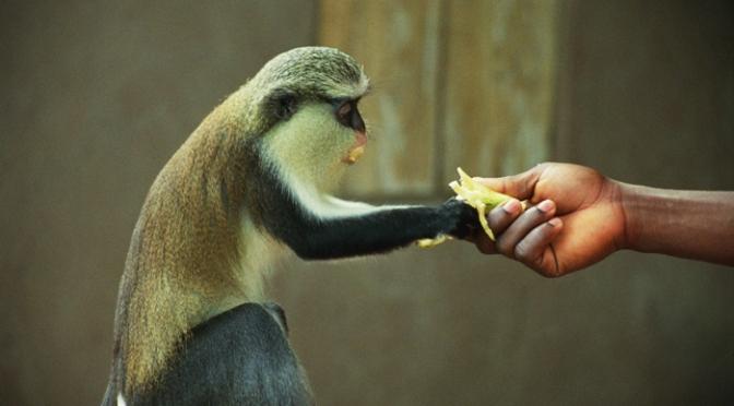 Monkeyin' around in Tafi-Atome