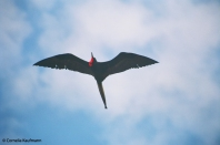 Great frigate bird in flight over Isla Tortuga. Copyright Cornelia Kaufmann