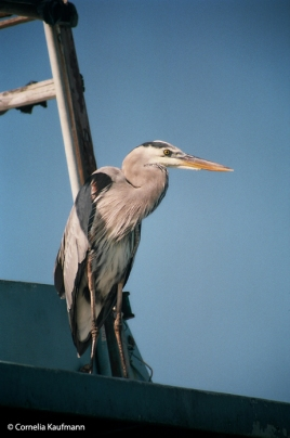 A great blue heron. Copyright Cornelia Kaufmann