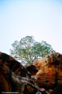 Gum Tree above the Yourambulla Caves. Copyright Cornelia Kaufmann
