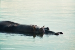 A hippo swimming in the Zambezi. Copyright Cornelia Kaufmann