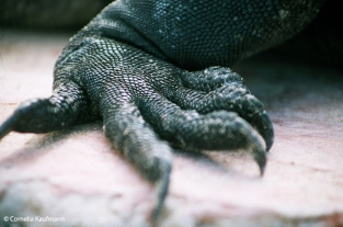 Close up of the claw of a marine iguana. Copyright Cornelia Kaufmann