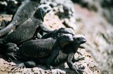 Marine iguanas. Copyright Cornelia Kaufmann