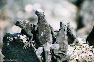 Marine iguanas sunbathing. Copyright Cornelia Kaufmann