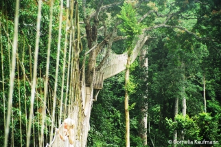 The Canopy Walkway is unique in Africa, 40m above ground and 350m long across 7 bridges and platforms. Copyright Cornelia Kaufmann