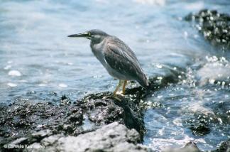 Lava heron. Copyright Cornelia Kaufmann
