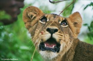 Young lion cub at The Lion Encounter. Copyright Cornelia Kaufmann