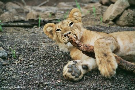 Playtime at Walking With Lions. Copyright Cornelia Kaufmann