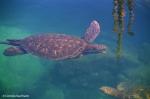 Green sea turtle at Los Túneles. Copyright Cornelia Kaufmann