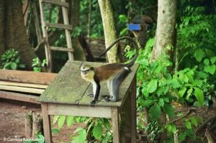 Monkey perched on a table. Copyright Cornelia Kaufmann