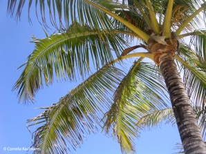 Palm tree on Isla Isabela. Copyright Cornelia Kaufmann