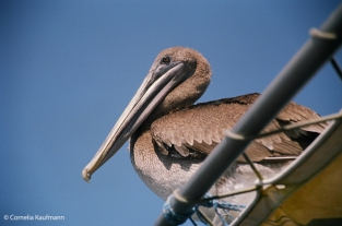 Brown pelican hitching a ride on our boat. Copyright Cornelia Kaufmann
