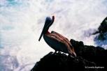 Brown pelican. Copyright Cornelia Kaufmann