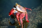 Sally Lightfoot Crab. Copyright Cornelia Kaufmann