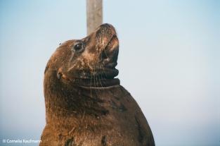 Sea lion. Copyright Cornelia Kaufmann