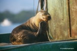 sea lion sunbathing. Copyright Cornelia Kaufmann