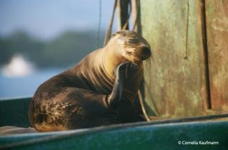 sea lion sunbathing. Copyright Cornelia Kaufmann