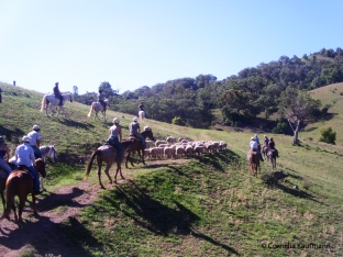 Returning the sheep and lambs to their paddock after they were shorn and the rams castrated. Copyright Cornelia Kaufmann