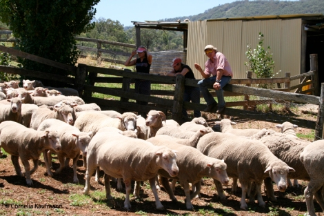 Col at the sheep yard in front of the shearing shed, explaining what we need to do next. Copyright Cornelia Kaufmann