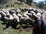 Mustering sheep on horseback at Leconfield. Copyright Cornelia Kaufmann