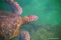 Swimming with a sea turtle. Copyright Cornelia Kaufmann