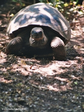 Giant turtle on Sierra Negra. Copyright Cornelia Kaufmann