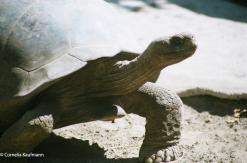Giant Galápagos Turtle. Copyrught Cornelia Kaufmann