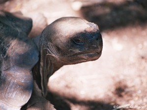Close up of a giant Galápagos turtle. Copyright Cornelia Kaufmann