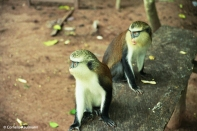 Two monkeys at Tafi-Atome. Copyright Cornelia Kaufmann