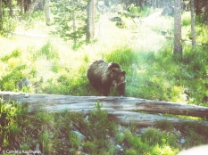 Grizzly bear in Yellowstone National Park. Copyright Cornelia Kaufmann