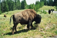 Bison in Yellowstone National Park. Copyright Cornelia Kaufmann