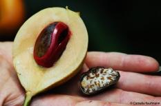 Nutmeg fruit, Zanzibar. Copyright Cornelia Kaufmann