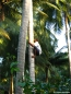 Farm worker climbing a coconut tree. Copyright Cornelia Kaufmann