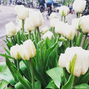 White tulips at the Tulip Museum on Prinsengracht in Amsterdam. © Cornelia Kaufmann